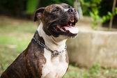 Face of Pitbull dog — Stock Photo