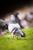 Pigeon standing on grass — Stock Photo