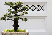 Bonsai albero decorativo — Foto Stock