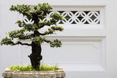 Bonsai decorative tree — Stock Photo