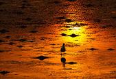 A Seagull on golden shoreline — Stock Photo