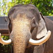 A tusked elephant — Stock Photo