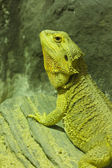 Green iguana in the nature — Stock Photo