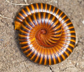 Close up view of a millipede — Stock Photo