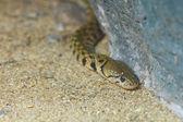 Brown snake venom. — Stock Photo