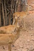 Herds of deer — Stock Photo