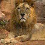 Lion — Stock Photo #30593047