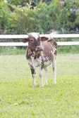 Cow milk. — Stock Photo