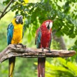 Macaws — Stock Photo