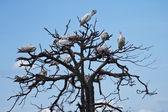 Brown pelican — Stock Photo