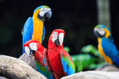 Blue-and-red macaw — Stock Photo