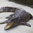 Leg of the crocodile — Stock Photo