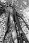 Kökleri bir tuğla duvar — Stok fotoğraf