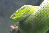 Cobra verde — Foto Stock