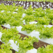 Stock Photo: Hydroponic vegetable farm