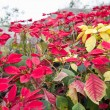 christmas flowers — Stock Photo