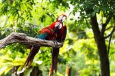 Scarlet Macaw — Foto de Stock