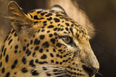 Eye of the Leopard — Stock Photo