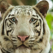 White bengal tiger — Stock Photo