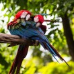 Scarlet Macaw — Stock Photo #32431383