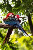 猩红色的金刚鹦鹉 — 图库照片
