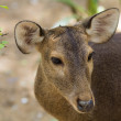 Photo: Roe Deer