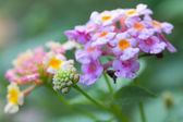 Lantana camara flowers — Stock Photo