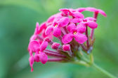 Pink Lantana flowers blossom — Stock Photo