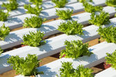 Organic hydroponic vegetable — Stock Photo