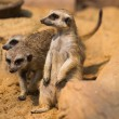 Meerkat or Suricate, Suricata suricatta — Stock Photo