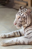 Portrait of profile a white tiger — Stock Photo