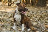 Pitbull dog — Stock Photo