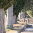 Cypress Trees in a Row — Stock Photo