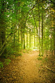 Path in natural Forest — Stock Photo