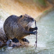 Coypu - Nutria — Stock Photo