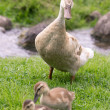 Mother Goose with two Chicks — Foto Stock