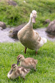 Mother Goose with two Chicks — Stock Photo