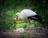 Storck feeding her Chick — Stock Photo