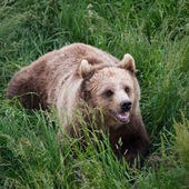 Angry Brown Bear in Grass — Stock Photo