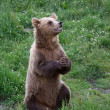 Brown Bear begging for Food - Stock Photo