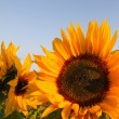 Sunflowers - Stock Photo
