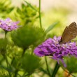 Ringlet Butterfly — Stock Photo #13179974