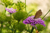 Ringlet Butterfly — Stock Photo
