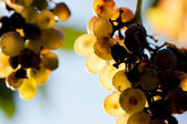 Grapes — Foto Stock