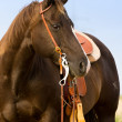 Stock Photo: Quarter Horse