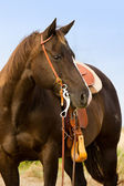 Quarter Horse — Stock Photo