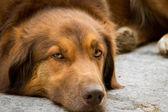 Perro marrón — Foto de Stock