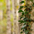 Birch Tree Forest — Stock Photo