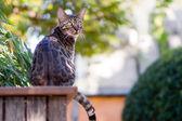 бенгальская кошка в саду — Стоковое фото