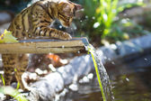 Bengal Cat playing with Water — Stock Photo